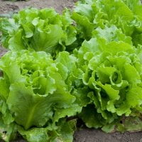 lettuces growing in the ground